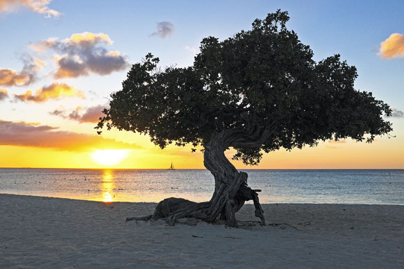 divi divi tree on a Netherlands Antilles shore