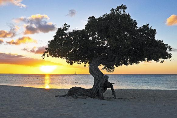 divi divi tree on a Netherlands Antilles shore