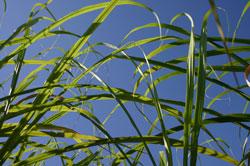 Jamaica Sugarcane Plantation